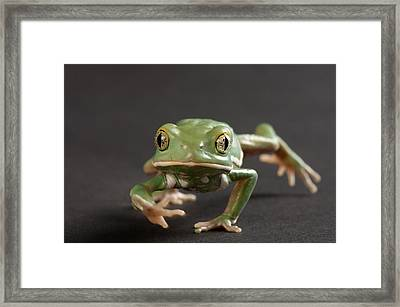 A Waxy Monkey Frog Phyllomedusa Framed Print by Joel Sartore