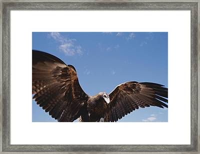 A Wedge-tailed Eagle With Wings Framed Print by Jason Edwards