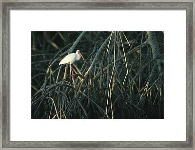 A White Ibis Perches On A Mangrove Tree Framed Print by Klaus Nigge