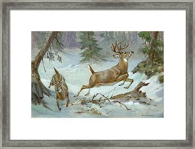 A White Tail Buck And Doe Flee Framed Print by Walter A. Weber
