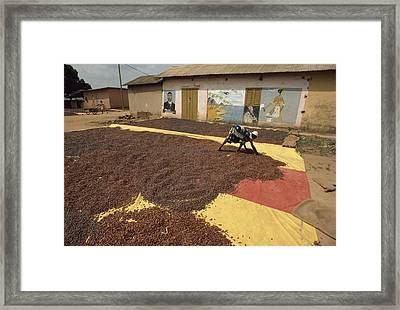 A Woman Spreads Brown Cacao Beans Framed Print