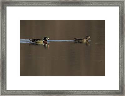 A Wood Duck Aix Sponsa Pair Framed Print by Tim Laman