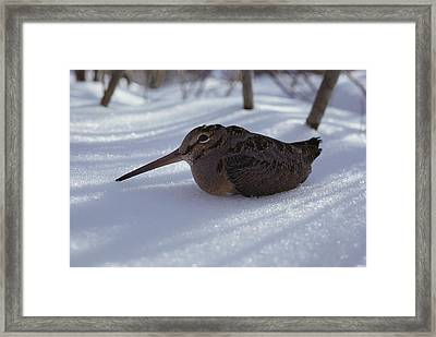 A Woodcock Sits In The Snow Framed Print by Bill Curtsinger