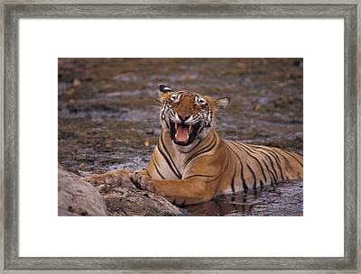A Yawning Bengal Tigress Wallows Framed Print by Jason Edwards