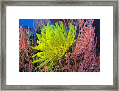 A Yellow Crinoid Feather Star Framed Print