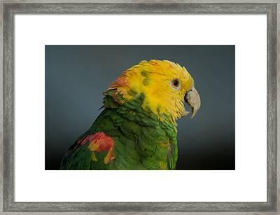 A Yellow-headed Amazon Parrots Amazona Framed Print by Joel Sartore