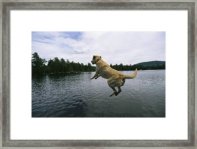 A Yellow Labrador Retriever Jumps Framed Print