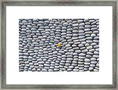 A Yellow Wildflower Growing Amongst An Arrangement Of Smooth Stones Framed Print by Mark Gerum