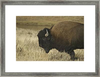 A Yellowstone Bison 9615 Framed Print