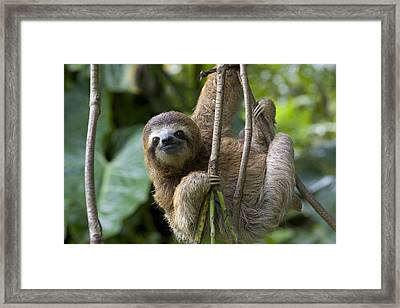 A Young Brown-throated Three-toed Sloth Framed Print by Roy Toft