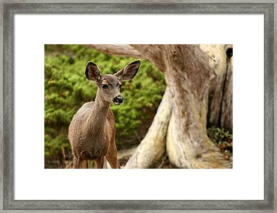 A Young Deer In A Grove Of Rare Framed Print by Charles Kogod