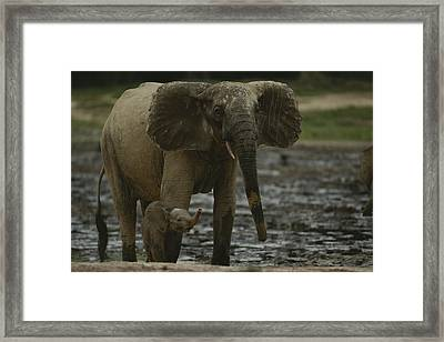 A Young Female Forest Elephant Stands Framed Print by Michael Fay