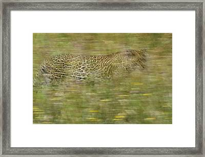 A Young Female Leopard Moving Framed Print by Michael Melford