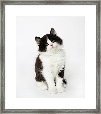 A Young Kitten Sitting Looking Into The Camera. Framed Print by Nicola Tree