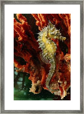 A Young Lined Sea Horse Hippocampus Framed Print
