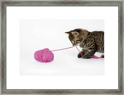 A Young Tabby Kitten Playing With A Ball Of Wool. Framed Print by Nicola Tree