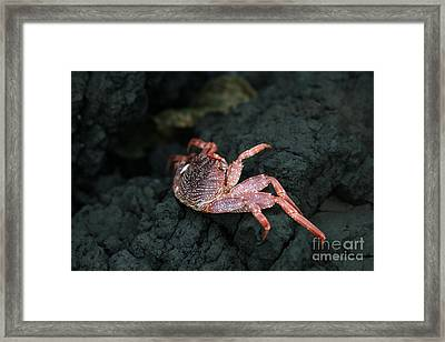 Aama - Thin Shelled Rock Crab - Grapsus Tenuicrustatus Framed Print by Sharon Mau