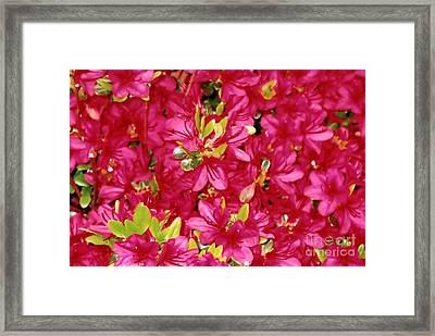 Abundant Azaleas Framed Print