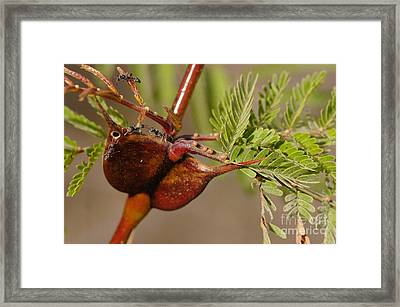Acacia Thorns With Pseudomyrmex Ants Framed Print by Raul Gonzalez Perez