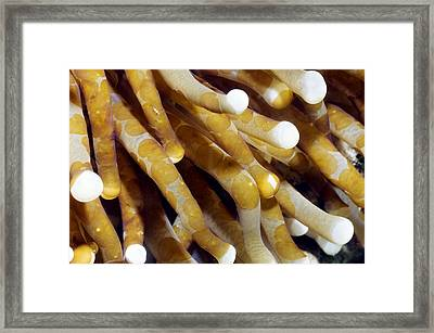 Aceol Flatworms Framed Print by Georgette Douwma
