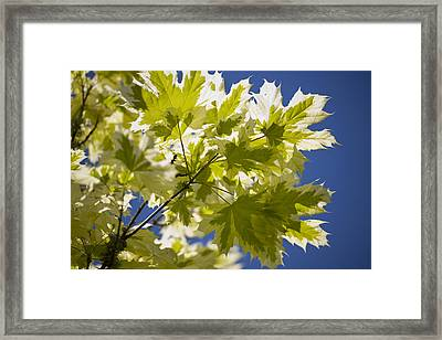 Acer Platanoides 'drummondii' Framed Print by Dr Keith Wheeler