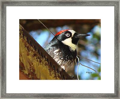 Framed Print featuring the photograph Acorn Woodpecker by Linda Cox