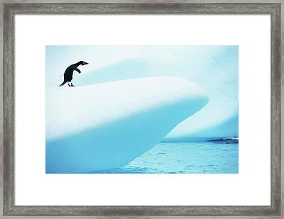 Adelie Penguin (pygoscelis Adeliae) Standing On Iceberg Framed Print
