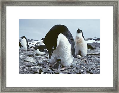 Adelie Penguin With Chick Framed Print by Doug Allan