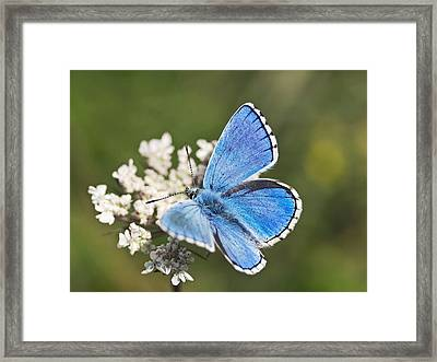 Adonis Blue Butterfly Framed Print by Adrian Bicker