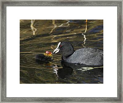 Adult Coot Feeding Its Chick Framed Print by Duncan Shaw