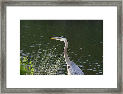 Framed Print featuring the photograph Adult Great Blue Heron by Brian Wright