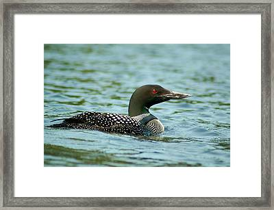 Adult Loon Framed Print