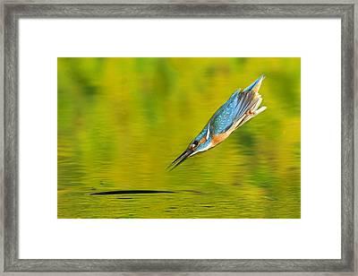 Adult Male Common Kingfisher, Alcedo Framed Print by Joe Petersburger