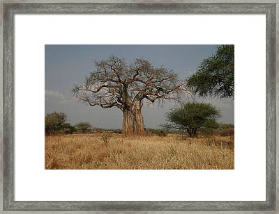 African Baobab Tree In The Tarangire Framed Print by Gina Martin