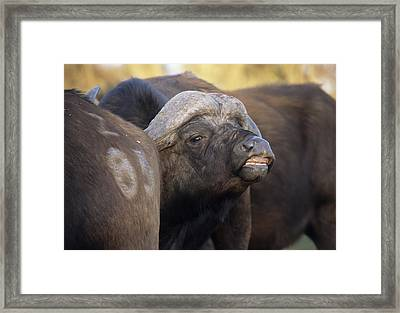 African Buffaloes Framed Print by Peter Chadwick