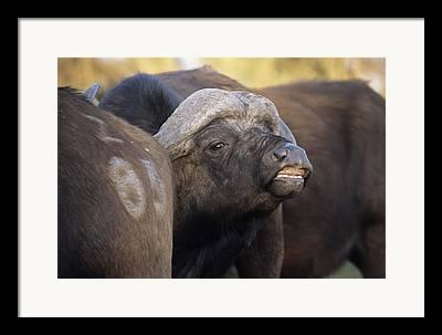 Social Herd Animals Framed Prints