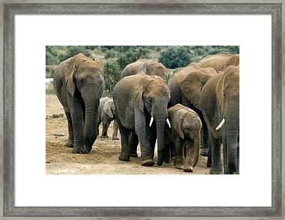African Bush Elephants Framed Print by Peter Chadwick