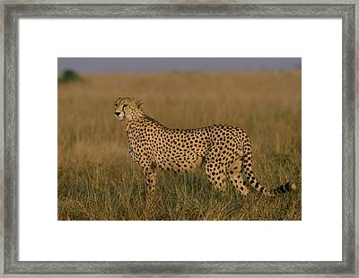 African Cheetah Acinonyx Jubatus Framed Print by Michael Nichols