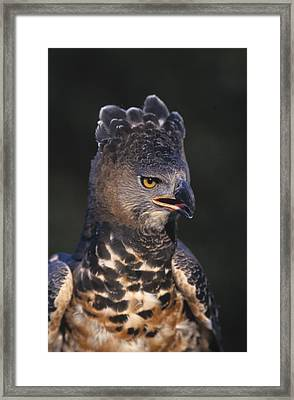 African Crowned Eagle Framed Print by Natural Selection David Ponton