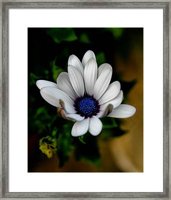 Framed Print featuring the photograph African Daisy by Lynne Jenkins