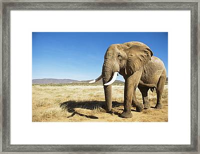 African Elephant (male) Encounter At Dawn Framed Print by James Warwick