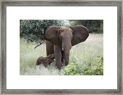 African Elephants Framed Print