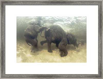 African Elephants Swimming Framed Print by Peter Scoones