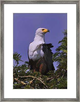 African Fish Eagle Framed Print by Richard Matthews