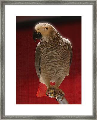 African Grey Parrot Orteil Blanc Framed Print by Jonathan Whichard