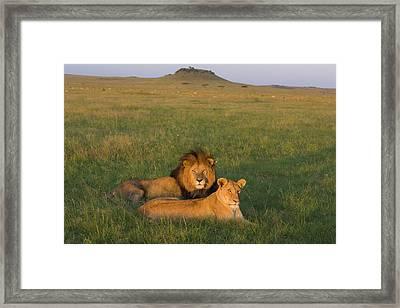 African Lion Panthera Leo Male Framed Print by Suzi Eszterhas