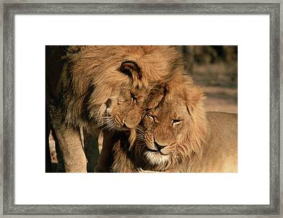 African Lion Panthera Leo Two Males, Mt Framed Print by Michael & Patricia Fogden
