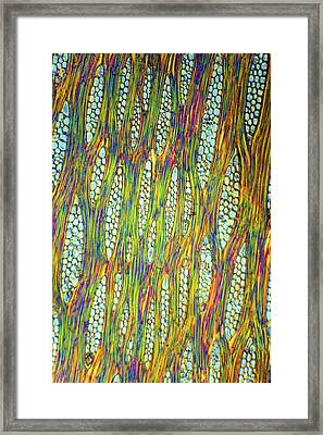 African Mahogany Stem, Light Micrograph Framed Print