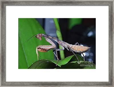 African Mantis Framed Print by Joerg Lingnau