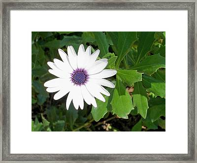 African Moon Flower Framed Print by Lisa Phillips